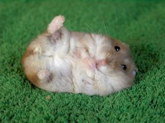 cute-hamster[1]